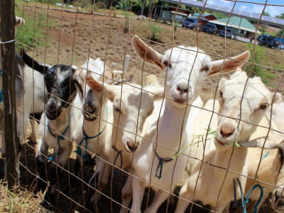 hawaiian goats